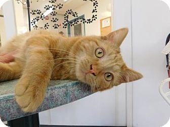 Domestic Shorthair Kitten for adoption in Freeport, Illinois - Rock
