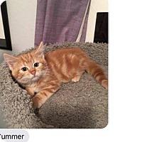 Domestic Shorthair Kitten for adoption in Fenton, Missouri - Summer