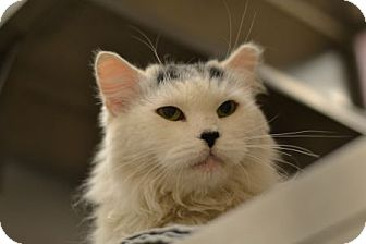 Domestic Longhair Cat for adoption in Gilbert, Arizona - Sweetie