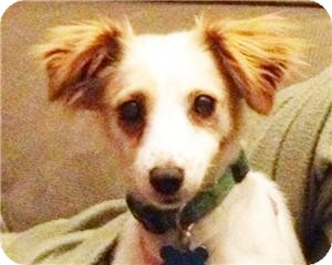 Spaniel (Unknown Type) Mix Dog for adoption in Minneapolis, Minnesota - Betsy