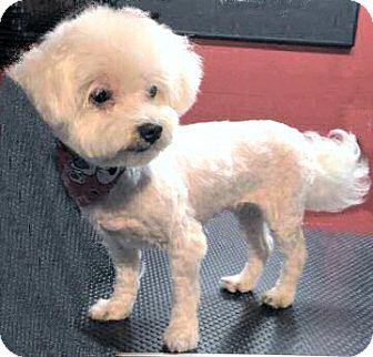 Maltese Dog for adoption in Mooy, Alabama - Hyacinth