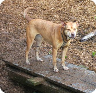 Pit Bull Terrier/Akita Mix Dog for adoption in Tillamook, Oregon - Betty