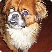 Pekingese Dog for adoption in Oakdale, Tennessee - Arlo