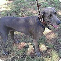 Adopt A Pet :: Stardust - Scottsdale, AZ