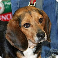 Adopt A Pet :: Prancer Henderson - Waldorf, MD