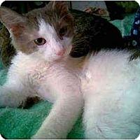 Adopt A Pet :: Bambino - Proctor, MN