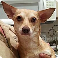 Adopt A Pet :: Foxy - Orlando, FL