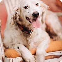 Adopt A Pet :: Bella - Portland, OR