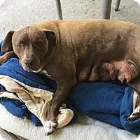 Adopt A Pet :: Baby - Bernardston, MA