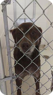 Labrador Retriever Mix Dog for adoption in Mt. Gilead, Ohio - Nelson