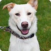 Adopt A Pet :: Archie-Jinks - Seattle, WA