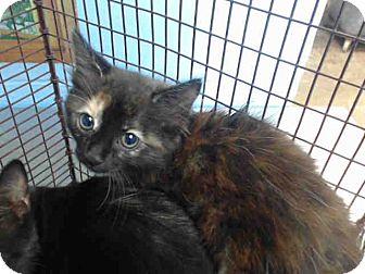 Domestic Longhair Kitten for adoption in San Bernardino, California - URGENT on 9/15 San Bernardino