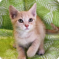 Domestic Shorthair Kitten for adoption in Greensboro, North Carolina - Dean