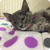 Maine Coon Kitten for adoption in Fresno, California - Amy