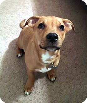 Shepherd (Unknown Type)/Labrador Retriever Mix Puppy for adoption in Detroit, Michigan - Prince-Pending!