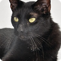 Domestic Shorthair Cat for adoption in Georgetown, Texas - Chipper