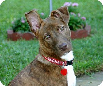 Akita/German Shepherd Dog Mix Dog for adoption in Dallas, Texas - Kaffe