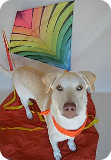 Labrador Retriever Mix Dog for adoption in Aurora, Colorado - Barney