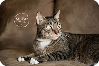 Domestic Shorthair Cat for adoption in Staten Island, New York - Boots
