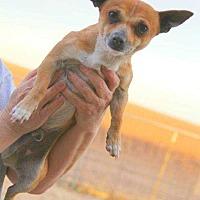 Chihuahua Mix Dog for adoption in Crosbyton, Texas - Bolt