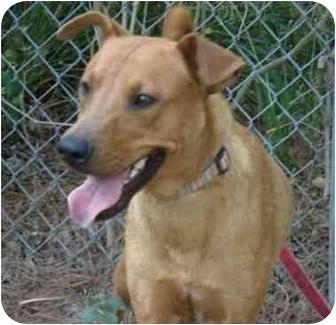 Terrier (Unknown Type, Medium)/Labrador Retriever Mix Dog for adoption in Kingwood, Texas - Brewster