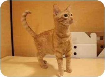 Domestic Shorthair Cat for adoption in Orlando, Florida - Nemo
