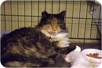 Calico Cat for adoption in Modesto, California - Gabby