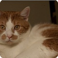 Domestic Shorthair Cat for adoption in Milwaukee, Wisconsin - Happy