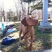 Adopt A Pet :: Bodhi - Reisterstown, MD