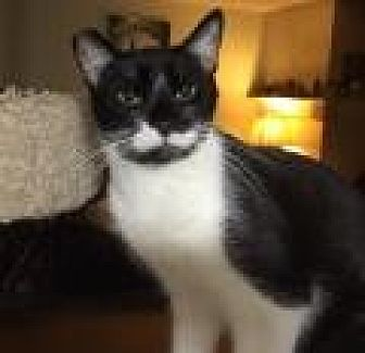 Domestic Shorthair Cat for adoption in Mission Viejo, California - Harpo Marx