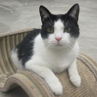 Domestic Shorthair Cat for adoption in Elkins, West Virginia - Mea