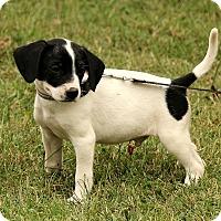Adopt A Pet :: Devlin - Brattleboro, VT