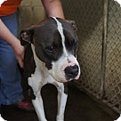 Adopt A Pet :: Bella* - Henderson, NC