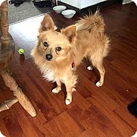 Adopt A Pet :: Pongo - Bellingham, WA