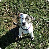 Adopt A Pet :: Tank - Dayton, OH