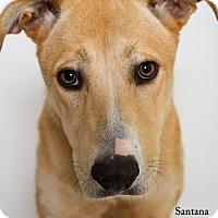 Adopt A Pet :: Santana - Baton Rouge, LA