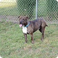 American Staffordshire Terrier/Shar Pei Mix Dog for adoption in Avon, Ohio - Muzzy