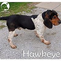 Adopt A Pet :: Hawkeye - Chicago, IL