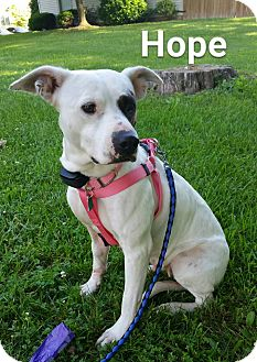 Pit Bull Terrier Mix Dog for adoption in WESTMINSTER, Maryland - Hope
