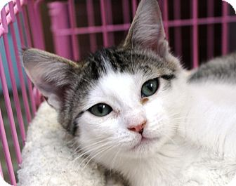 American Shorthair Kitten for adoption in Priest River, Idaho - Miley