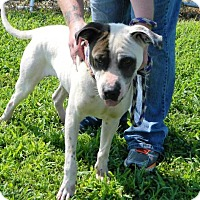 Pit Bull Terrier/Shar Pei Mix Dog for adoption in Waverly, Ohio - Cisco
