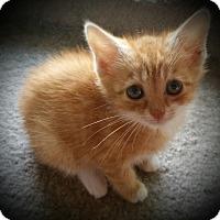 Adopt A Pet :: Maci - Fairborn, OH