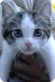Domestic Shorthair Kitten for adoption in Eureka, California - Mac
