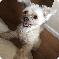 Adopt A Pet :: Lulu - Brea, CA