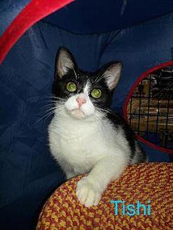 Domestic Shorthair Cat for adoption in Satellite Beach, Florida - Tishi