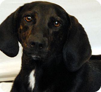 Plott Hound Mix Dog for adoption in Newland, North Carolina - Benji