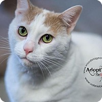 Domestic Shorthair Cat for adoption in Sewaren, New Jersey - Fluffy