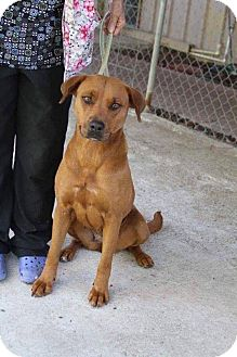 Labrador Retriever Mix Dog for adoption in DeForest, Wisconsin - Lola