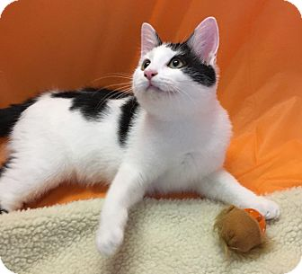 Domestic Shorthair Kitten for adoption in Butner, North Carolina - Toto