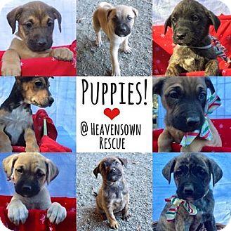 Boxer/Mastiff Mix Puppy for adoption in Waxhaw, North Carolina - Boxer Mastiff mix litter of pups